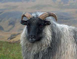Icelandic Sheep Breeders of North America - Icelandic Sheep